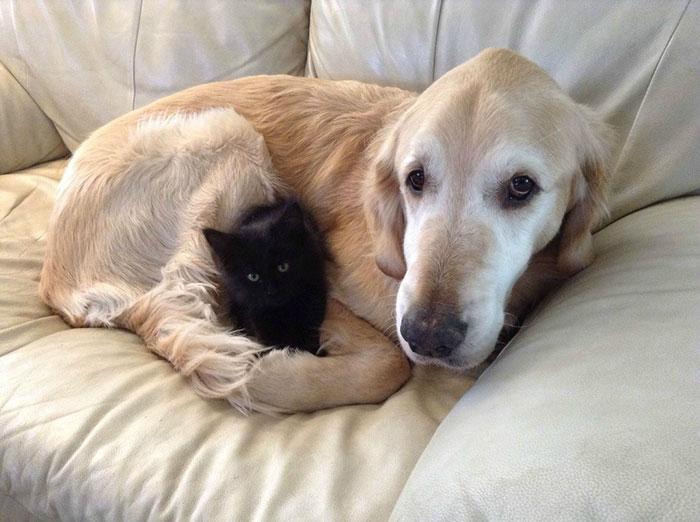 dog-cat-friends-golden-retriever-forsberg-maxwell-2