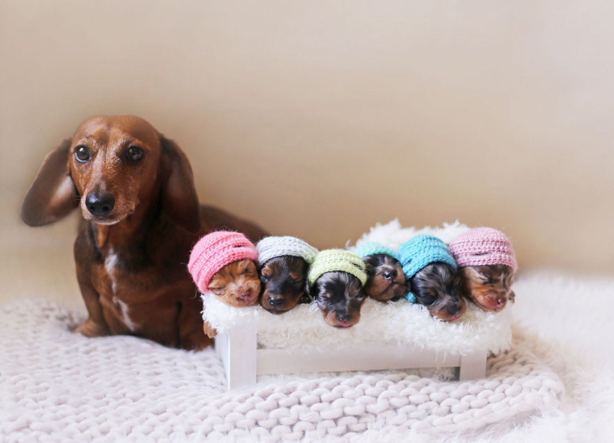 sausage-dog-maternity-photoshoot-puppies-2